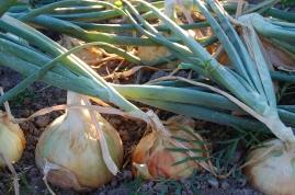 onions 4