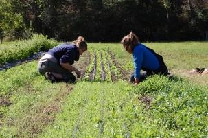 weeding spinach