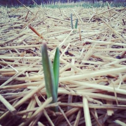 3.11 garlic