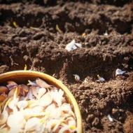 3.12 planting spring garlic