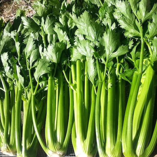 celery again insta sm
