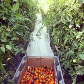 cherry tomato harvest insta sm