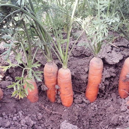 carrots insta sm