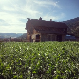 cover crop and barn insta